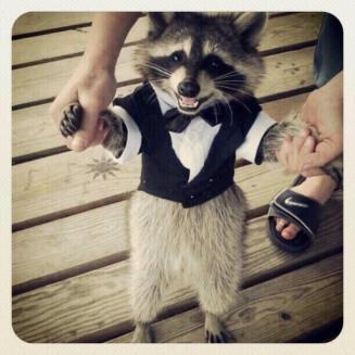 Raccoon-in-a-Tuxedo.jpg